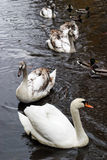 Swans family Stock Photography