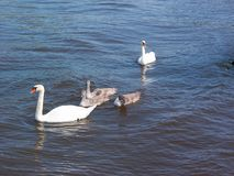Swans family stock images