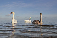 Swans family. Stock Images