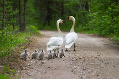 Swans family stock photo