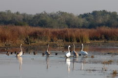 Swans. Family of swans in autumn in the danube delta Royalty Free Stock Image
