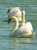 Swans family birds Royalty Free Stock Images