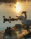 Swans family. Evening in the lake stock image