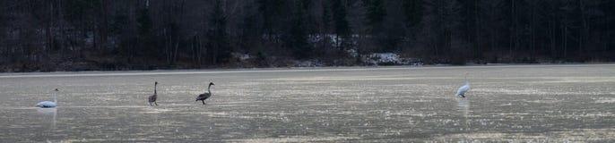 Swans family on frozen Viljandi lake in January Stock Photos