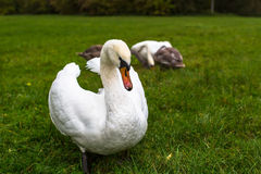 Swans family on a green meadow. Nature. Stock Photos