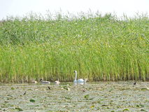 Swans family in lake, Lithuania Stock Photography
