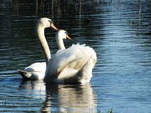 Swans family, lake in summer royalty free stock photos