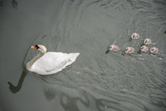 Swans family. Mother and children Royalty Free Stock Images