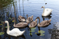 Swans family pond. Family consisting of several swans floating in a pond, close up Royalty Free Stock Images