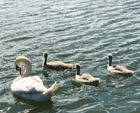 Swans. Family of swan Stock Image