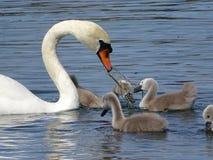 Swans, Family Of Swans, Lake Stock Photo