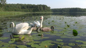 Swans family swimming Stock Images