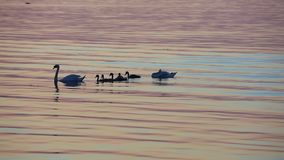Swans Family Swimming By Sea stock video footage