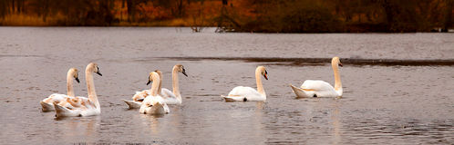 Swans family. Family of swans to swim across the pond in the background of autumn trees Stock Photos