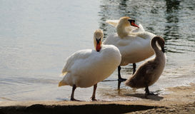 Swans family. Royalty Free Stock Photos