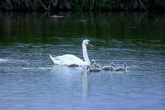 Swans. Family water small birds Stock Photos