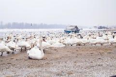 Swans family Winter Season Royalty Free Stock Photos