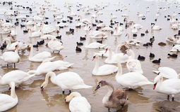 Swans family Winter Season Royalty Free Stock Images
