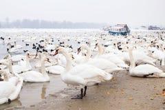 Swans family Winter Season Stock Photography