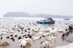 Swans family Winter Season Royalty Free Stock Photo
