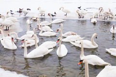 Swans family Winter Season Stock Photos