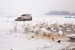 Swans family Winter Season Stock Images