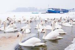 Swans family Winter Season Royalty Free Stock Image