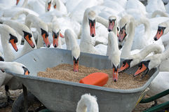 Swans feeding Royalty Free Stock Photo