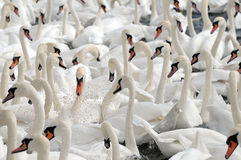 Swans feeding at Abbotsbury Swannery Royalty Free Stock Photo