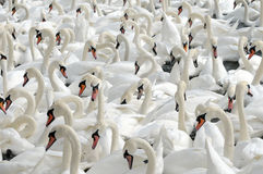 Swans feeding at Abbotsbury Swannery Royalty Free Stock Photography