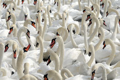 Swans feeding at Abbotsbury Swannery Royalty Free Stock Images
