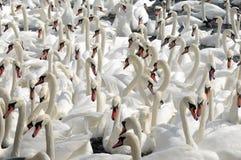 Swans feeding at Abbotsbury Swannery Stock Photos