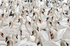 Swans feeding at Abbotsbury Swannery Stock Images