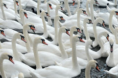 Swans feeding at Abbotsbury Swannery Royalty Free Stock Photo