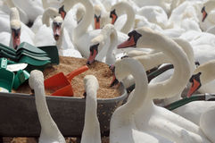 Swans feeding at Abbotsbury Swannery Royalty Free Stock Image
