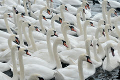 Swans feeding at Abbotsbury Swannery Royalty Free Stock Photography