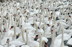 Swans feeding at Abbotsbury Swannery Stock Photography