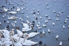 Swans feeding. Swans. ducks and seagals feeding at riverside Royalty Free Stock Photo