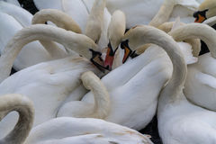 Swans feeding. A group of swans eating breadcrumbs that were thrown to the river Royalty Free Stock Photos