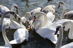 Swans feeding Royalty Free Stock Photo