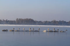 Swans feeding penetrate the ice on the river Royalty Free Stock Image
