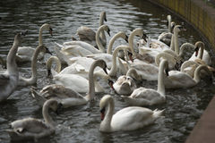 Swans Feeding. Swans swimming on a lake Stock Photography