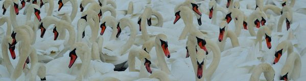 Swans at feeding time. Abbotsbury swannery Stock Images