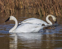 Swans feeding. Trumpeter swans feed in Potter Marsh, Alaska Royalty Free Stock Photography