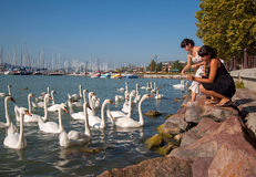 Swans feeding Royalty Free Stock Photos