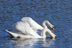 Swans Feeding Stock Photos