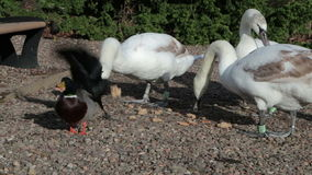 Swans Feeding stock video footage