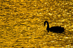 Swans in the fields of gold lake. Silhouettes of swans in the fields of gold lake Stock Photography