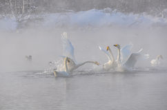 Swans mist lake winter Royalty Free Stock Photo