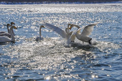 Swans fight river winter (Cygnus Cygnus) Royalty Free Stock Image